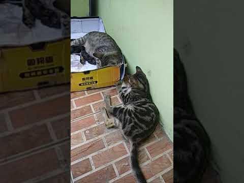 Macan (manis Cantik)Kucing Lahiran 😍