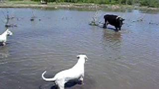 pitbull attack police pitbull attack on command argentin dog dogo