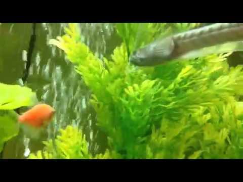 Tropical Aquarium Update #7: Dragon Fish!!