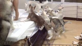 Siberian Husky Puppies' Escape