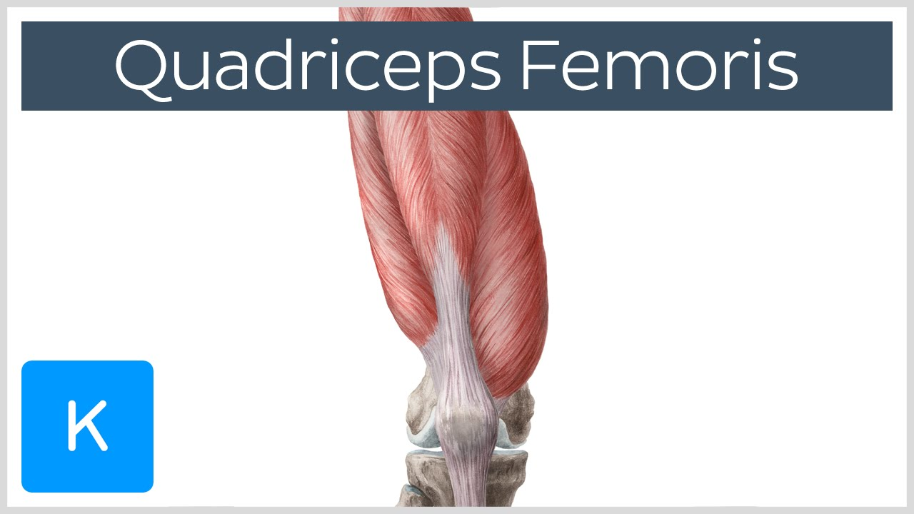 Quadriceps Femoris Muscle - Origin, Insertion and Function - Human ...