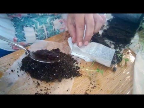 Пикировка рассады из улитки в пеленки
