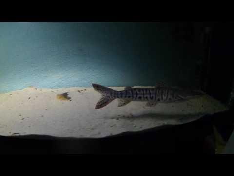 Video Tiger shovelnose catfish pictures