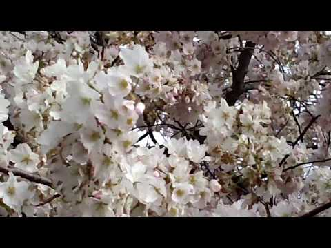The Cherry Blossom Festival 2018 - At The National Monuments - Washington DC   On 4/62018 .