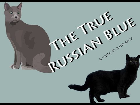 The Russian Blue (cat)