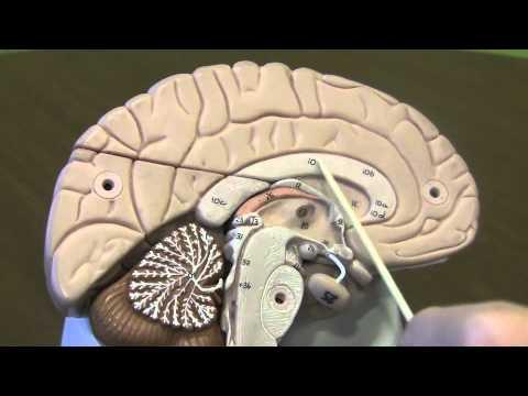 biology brain model