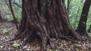 大隅半島の自然 巨木 〔 八山岳 イスノキの巨木 〕
