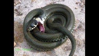 Wąż zaskroniec udaje martwego
