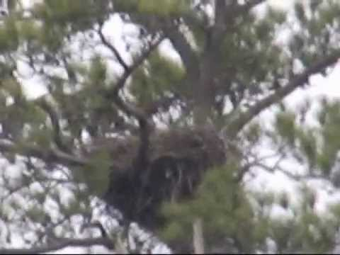 Blackwater NWR Wildlife Drive Eagle Nest with Possible Hatch