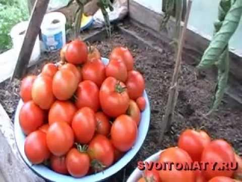 Лучшие (томаты) помидоры - Сбор урожая