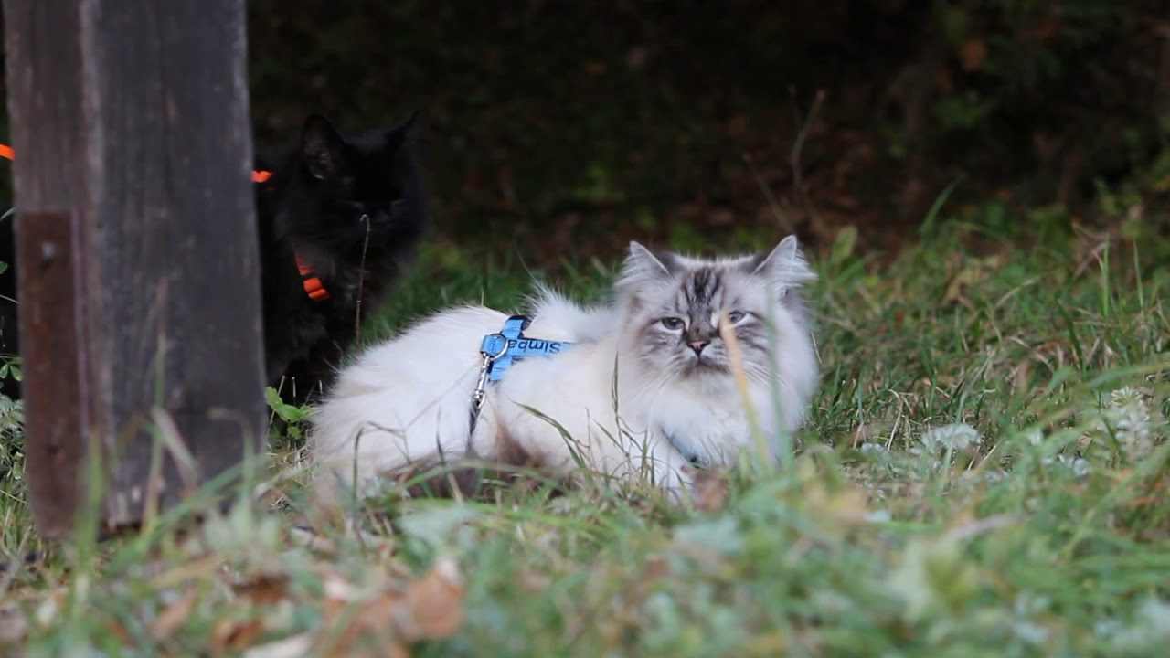 Hiking with cats - adventure cats on leashes on tour ...