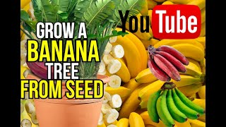 how to grow a banana tree from seed(Here is a great video showing you how to grow bananas from seeds (step by step ) I hope you enjoy Facebook ..., 2012-03-05T21:13:17.000Z)