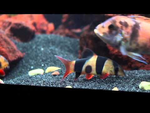 The Pros And Cons Of Keeping African Cichlids