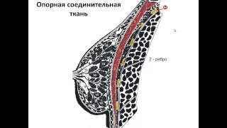 Ультразвуковая анатомия молочных желез