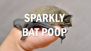 Sparkly Bat Poop! Why do bats have glittery poop?
