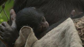 Baby bei den Bonobos