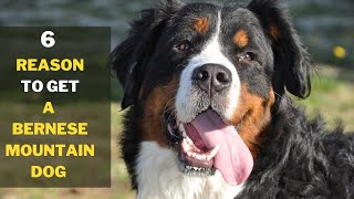 Only Get a Bernese mountain dog No Anyone Else