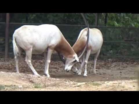 Scimitar Oryx (Oryx dammah) Prague Zoo ראם סהרה