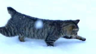 Bobtail Cat In The Snow, Feb. 2010