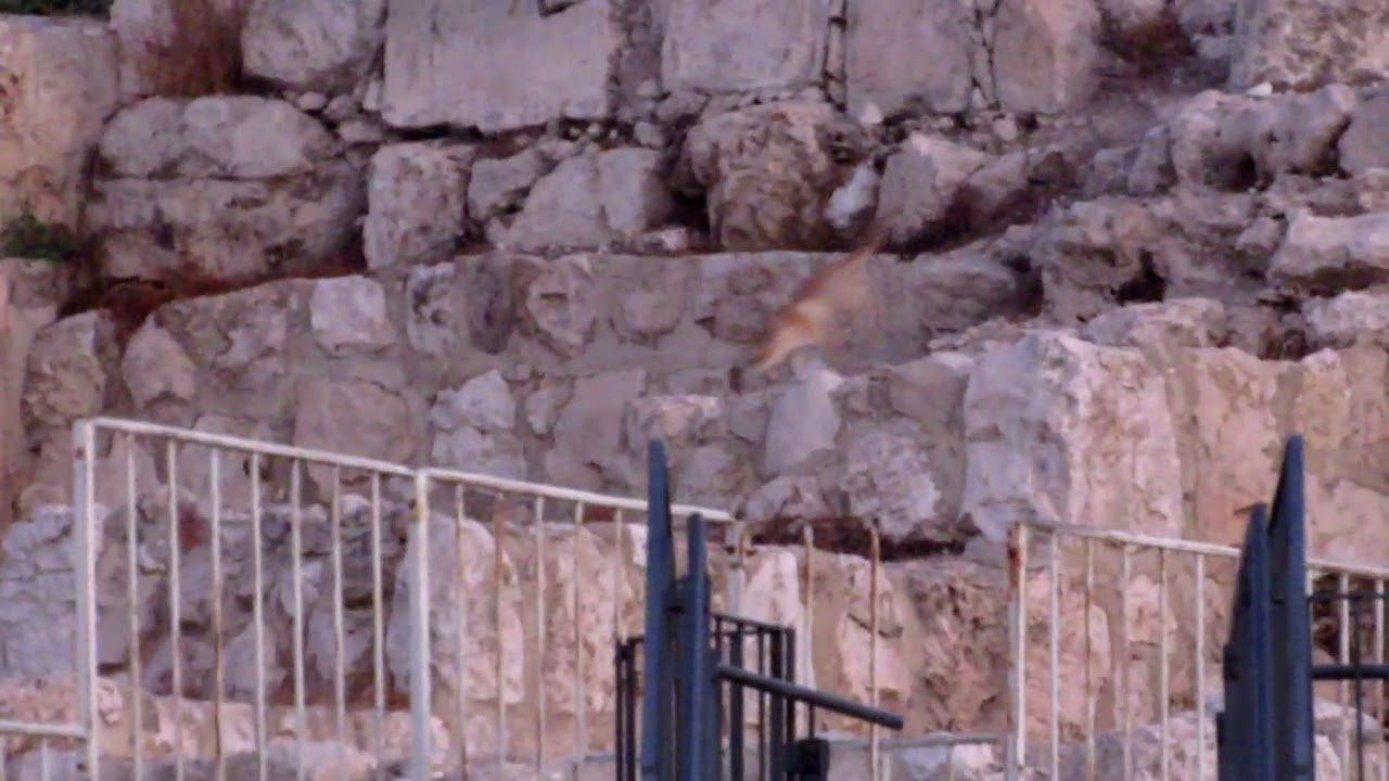 Foxes at Temple Mount: Prophetic Proof Jerusalem Returning to Glory -