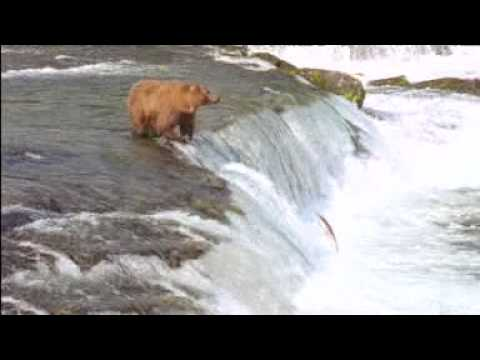 New John West Fisherman and Bear Fight