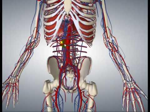 Aorta Abdominal - Anatomía - YouTube