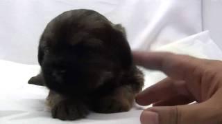 かわいいボーダーテリアの子犬が誕生しました! ブリーダー直販にて、健...