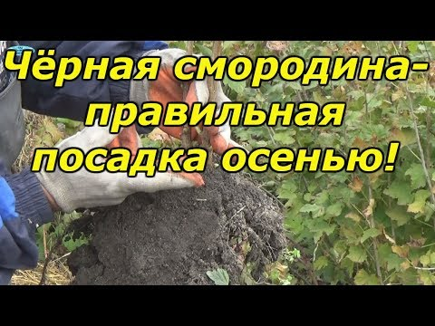 Как правильно сажать черную смородину осенью