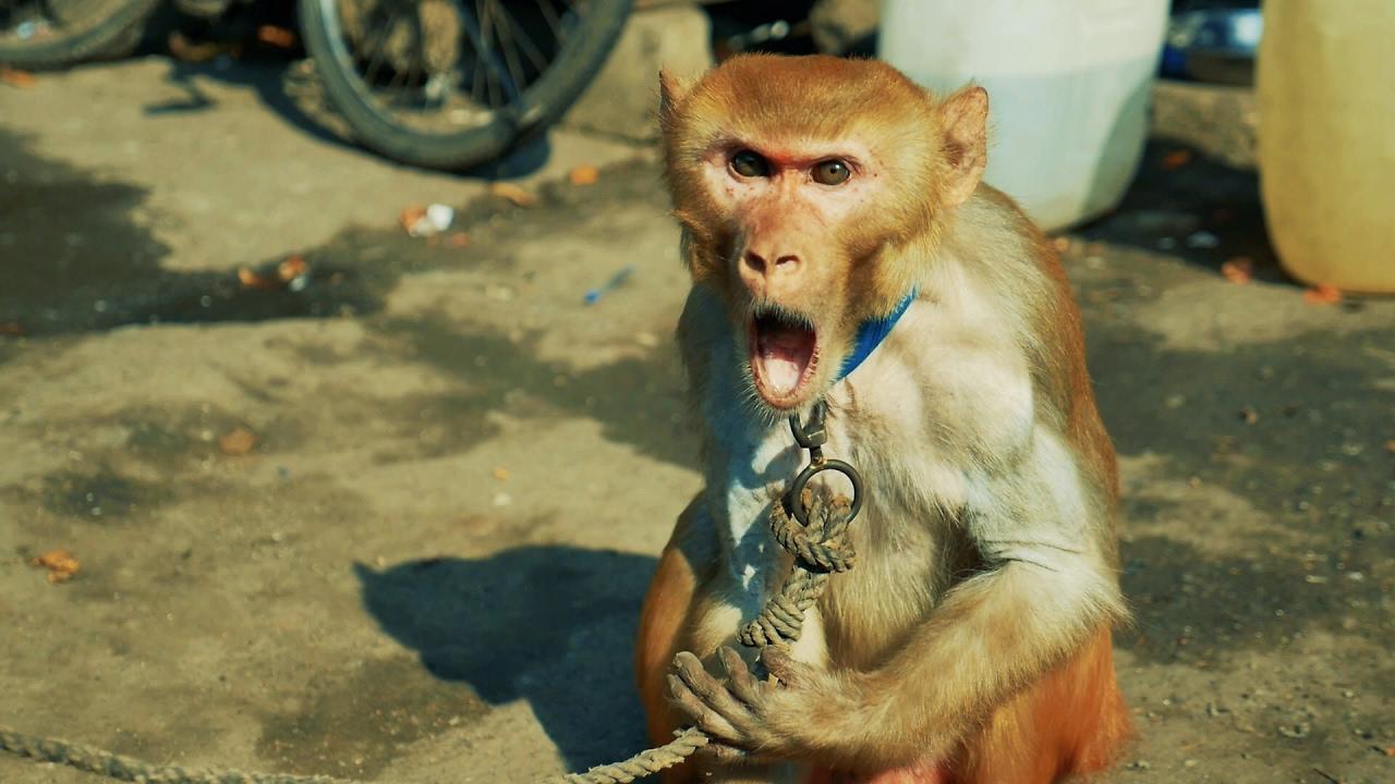 Bandar ka Khel | Baby Monkey Dance | Madaari aur Bandar ka