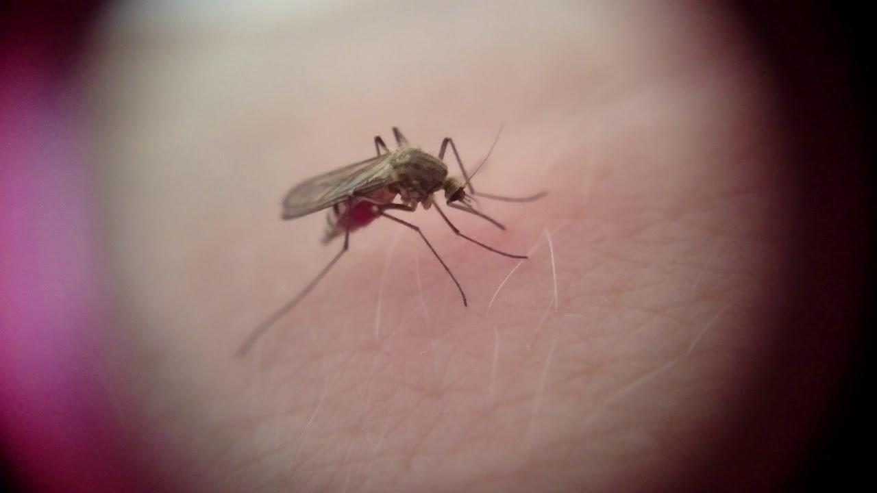Как комар сосет кровь
