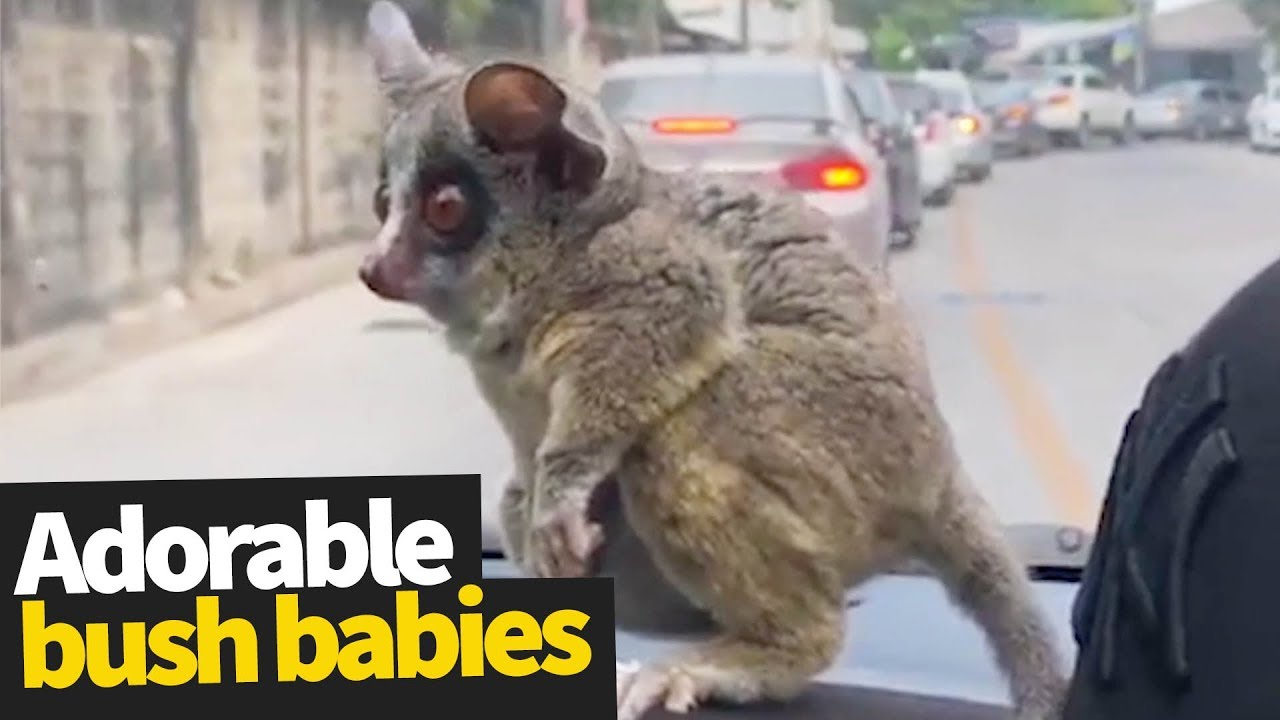 Bush Babies as Pets | Adorable Bush Babies Compilation ...