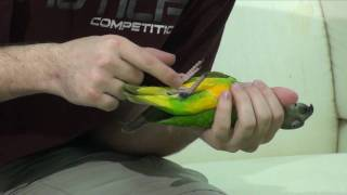 Kili Senegal Parrot - Cutting Nails & Filing Beak and Nails