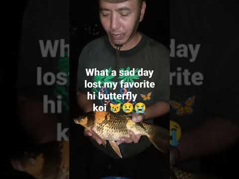 Lost my favorite hi butterfly 🦋 koi so 😢😭