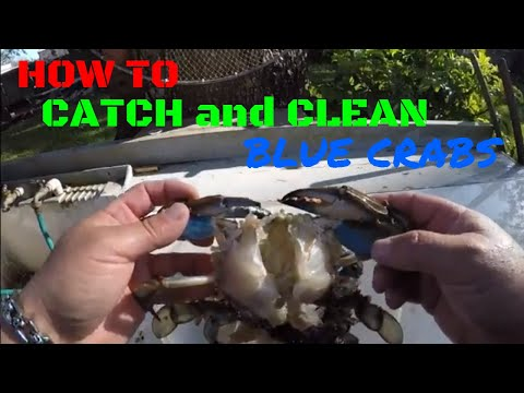HOW TO CATCH AND CLEAN BLUE CRABS
