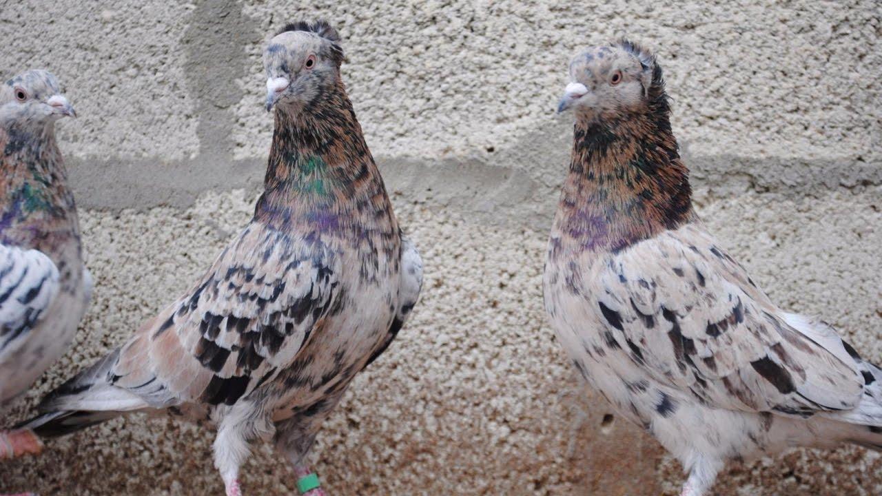 Домашние голуби. Голуби — одни из самых древних домашних птиц. Первые свидетельства о существовании домашних голубей появились уже 5000 лет назад. Однозначно определить очаг одомашнивания невозможно, поскольку предками домашних голубей были дикие скалистый и сизый голуби, ареал.