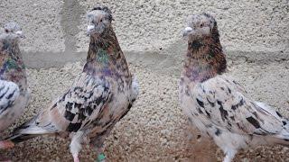 Бакинские бойные голуби (Vitalie Stirbu / Кишинев, Молдова)