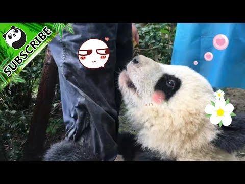 Panda Qi Yi Is A Master In Leg Hugging!