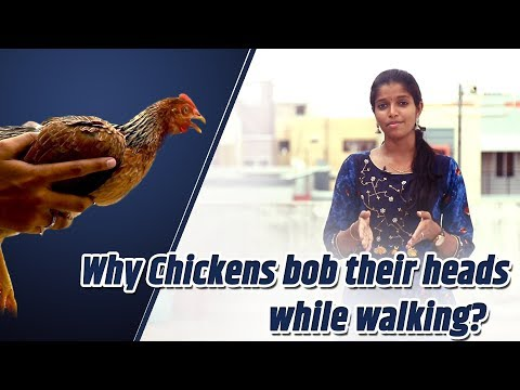 Why Chickens Bob Their Heads While Walking? | Tamil | LMES