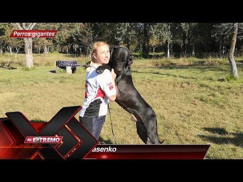 Gran Danés, uno de los más grandes perros que existen