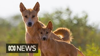 Dingoes a 'fair dinkum' separate species | ABC News