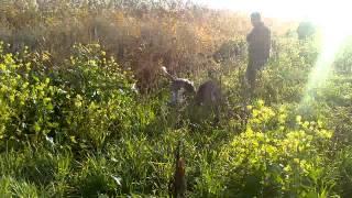 Охота на шакала(Охота на лис с гончими Android., 2013-11-29T17:40:51.000Z)