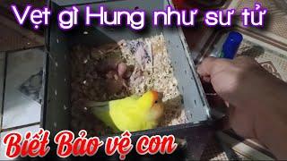 07/07/20 Đêm Khuya Đi thăm Tổ chim Vẹt Love bird, yến phụng Sinh Sản