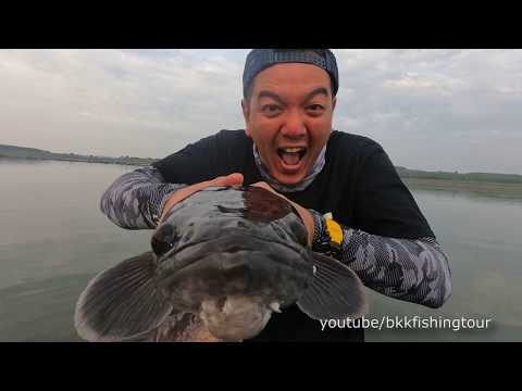 Amazing! Wild Sneakhead Toman Attack Buzz Bait Top-water. Thailand Monster Fishing.