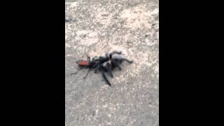 Wasp vs Tarantula will make you scream