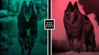 Los 4 Tipos Brutales del Pastor Belga  ¿Un perro lobo?