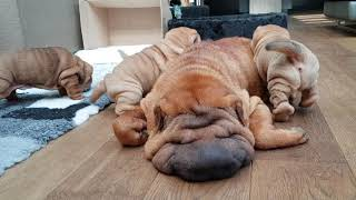 shar pei puppies are hungry but mommy is acting like she is dead