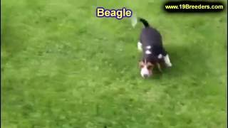 Beagle, Puppies, For, Sale, In, Chicago, Illinois, Il, Carol Stream, Streamwood, Plainfield, Crystal