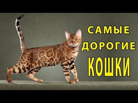 Русская голубая кошка фото, цена, описание породы