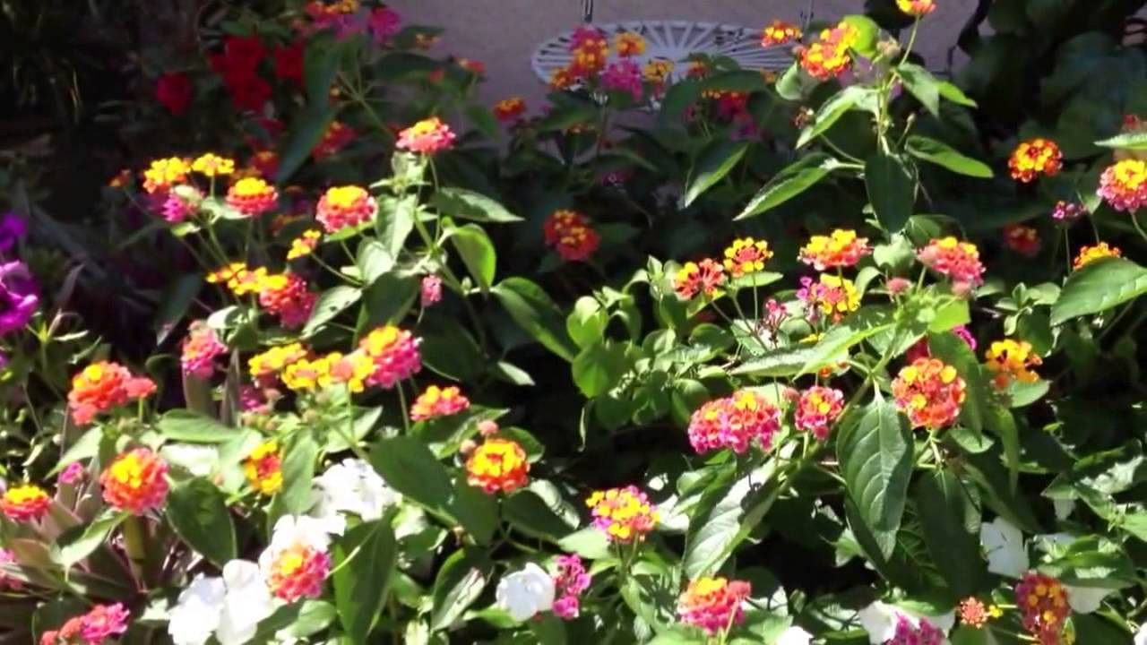 Fragrant Plant Series Lantana Full Sun Fragrant Flowers Great For