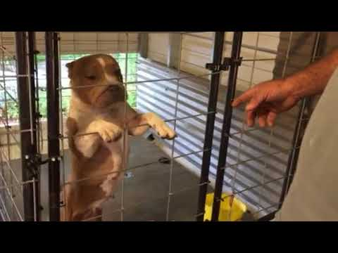 American Bully New and Improved BY-U Kennels